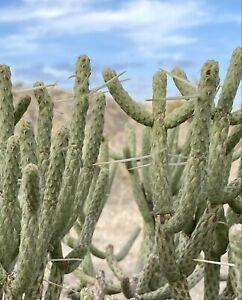 "10"" Pencil / Diamond Cholla Cactus. 3 Plant Cuttings. Cylindropuntia ramosissima"