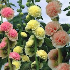 HOLLYHOCK Summer Carnival Double Seeds (F 36)