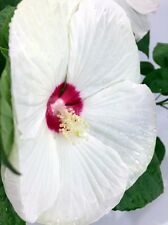 25 Fresh Luna White Perennial Hardy Hibiscus Rose Mallow Seeds