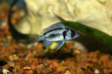 "Live Exotic Freshwater Fish- 1"" Black Widow Frontosa Agressive Predatory Species"