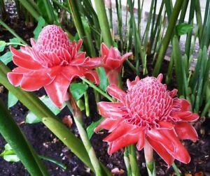 10 SEEDS OF RED TORCH GINGER ETLINGERA ELATIOR RED TRPICAL PLANT