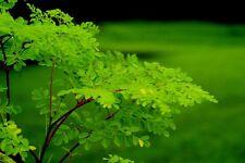 Moringa Oleifera - 15 semillas - Árbol comestible - NUTRICIONAL - seeds