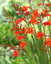 Crocosmia Spitfire 15 EXTRA LARGEcorms bulbs, hardy, UKgrown, hummingbrid iris