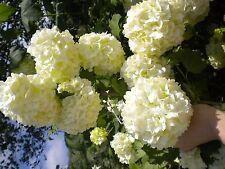 VIBURNUM OPULUS cv ROSEUM v18 da fiore pianta Palla di neve plant Balloon of May