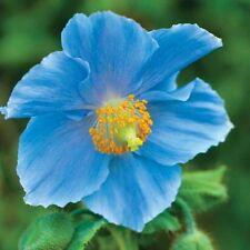 Persian Blue Poppy 250 Seeds Papaver Somniferum Attract Butterflies Free Ship!
