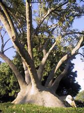 PHYTOLACCA DIOICA 10 semi seeds Ombù fitolacca arborea Elephant tree
