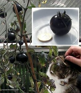 Schwarze Tomate ´Black Krim´ / besonders aromatisch & grossfruchtig / Samen ...