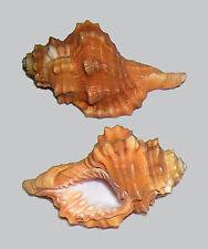 Conchiglia Shell CYMATIUM PYRUM Filippine 72,9 mm # OLD COLLECTION