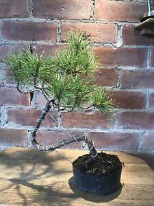 Scots Pine Bonsai Tree