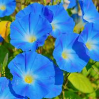 UNTREATED Morning Glory Seeds Heavenly Blue Flower Ipomoea fresh BULK seeds 1oz