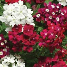 50 Verbena Seeds Quartz XP Merlot Mix Verbena