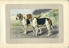 Stampa antica CANE FOXHOUND 1907 Old antique print dogs
