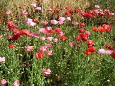 POPPY Mix 1000+ seeds flower garden patio flanders shirley paeony iceland colour