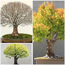 Japanese Elm, resistant to dutch elm disease! Ideal for bonsai! Seeds, Zelkova