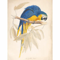 Blue & Yellow Maccaw Extra Large Art Poster