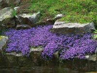 10 Vinca Vine Live Plants Ground Cover Evergreen(periwinkle,creeping myrtle)