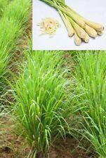 50 Samen Ostindisches Zitronengras (Cymbopogon flexuosus), Asiat. Küche, Gewürz