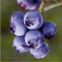 Blueberry Biloxi Vaccinium corymbosum Live Fruit Plant Highbush