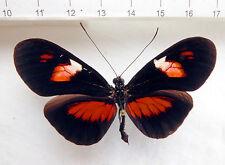 Butterflies, Nymphalidae, heliconius Erato híbridas ex ecuador, n182