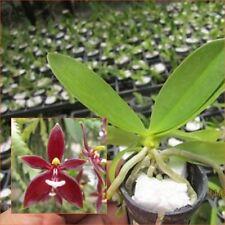 "Phal.cornu cervi Red fragrant flower rare, Seedling size in 1"" pot from Thailand"