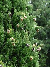 """5- Pack Italian Cypress Trees 18""""-24"""" tall"""