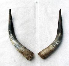 Rinderhörner vom Watussi Watussihörner 51-60 cm vorgeschliffenes Horn