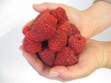 Raspberry Seeds - CRIMSON GIANT - MEDICINAL BENEFITS -GMO FREE- 25 Organic Seeds
