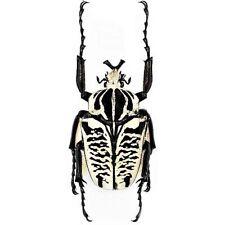 One Real Goliath Beetle Goliathus Albosignatus Kirkianus Unmounted Packaged