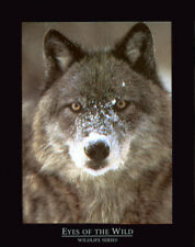 EYE OF THE WILD WOLF  16 X 20 INCH ART PRINT  POSTER