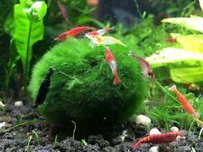 *BUY 2 GET 1 FREE* Marimo Moss Ball Easy Aquarium Plants Live Aquarium Plants ✅