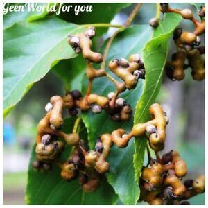 30Pcs Hovenia Thunb Tree Seeds Hovenia dulcis Candy Tree Beautiful Garden Plants