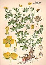 1890's original TORMENTIL HERB botanical chromolithograph