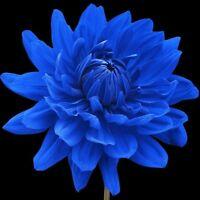 Rare Blue Dahlia Annual Flower Seeds Home Garden DIY Indoor Plants Decoration