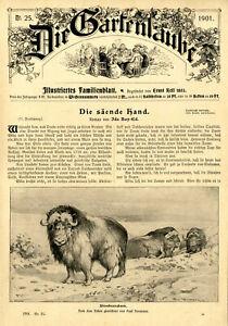Moschusochsen Tiermaler Paul Neumann Dekorative Titelblatt-Vignette von 1901
