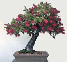 Callistemon citrinus-Australian crimson BOTTLEBRUSH - 50 graines fraîches + Bonsai