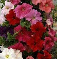 200 Petunia Seeds Pelleted Supercascade Mix BULK SEEDS