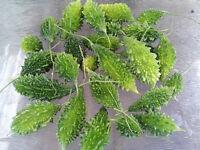 Bitter Melon (Pinyin, Pare, Paakharkaai, Kaakarakaya, Karela) - 8 Seeds