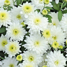 Chrysanthemum Poppins White plug plants x 5 {good for cut flowers}