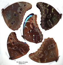 Butterfly - 5 x unmounted males Morpho didius (All Good A1-)