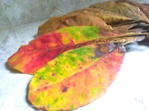 Terminalia Catappa Almond Leaf 500pcs Shrimp Fish AQUARIUM BETTA TANK CARE Ceylo