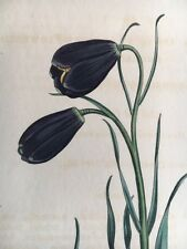 CURTIS BOTANICAL PRINT - Violet-flowered Fritillary 857