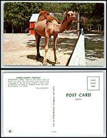 INDIANA Postcard - Bloomingdale, Gobblers Knob Zoo Farm, Dromedary Camel F20