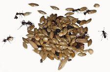 Live Reine lasius Niger avec oeufs et Brood 10-20 travailleurs Starter Kit