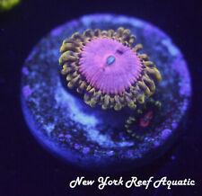 New listing New York Reef Aquatic - 0523 C1 Pink Diamond Zoanthid Wysiwyg Live Coral