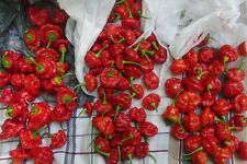 Red Scotch Bonnet Pepper Seeds - Firey Hot!!! - Vegetable -theseedhouse-10 Seeds