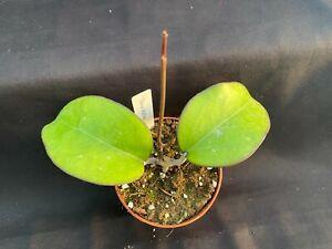 """Hoya vitellina,  RARE LARGE GROWING HOYA, ROOTED PLANT SHIPPED IN 3"""" POT"""