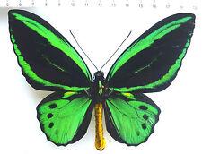 Ornithoptera Priam ssp. Hecuba aberration from Kei-Isl., INDONESIA, RARE 1/6