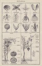 C2843 Botanica - Stampa d'epoca - 1936 vintage print
