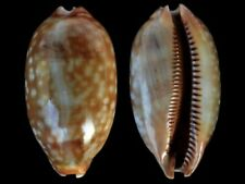 Cypraea zebra - Shells from all over the World NEW!!!