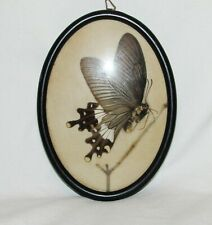 Cadre ancien papillon taxidermie entomologie